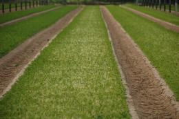 Vue d'une production de persil frisé en début de repousse après coupe