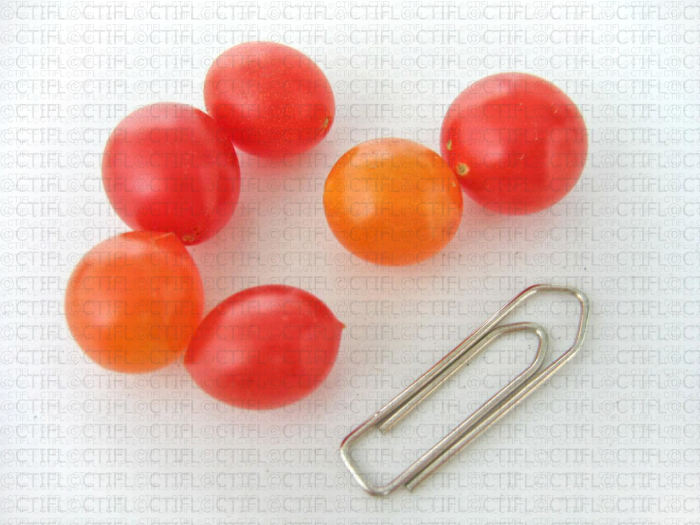 Tom Berry orange et rouge, variétés de tomates miniatures