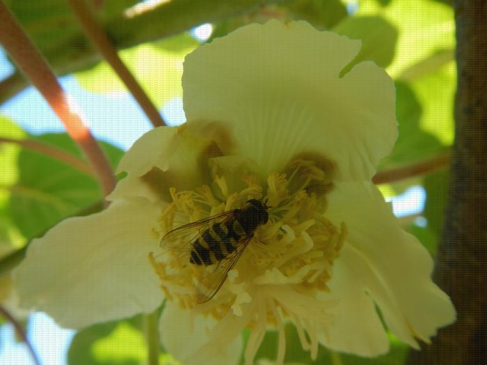 Syrphe sur fleur de kiwi
