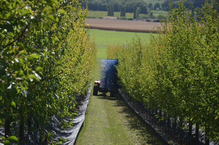Eclairvale® à tige bleue : récolte mécanique de prunes d'Ente