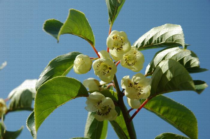Fleurs du kiwai (ou baby kiwi), Actinidia arguta
