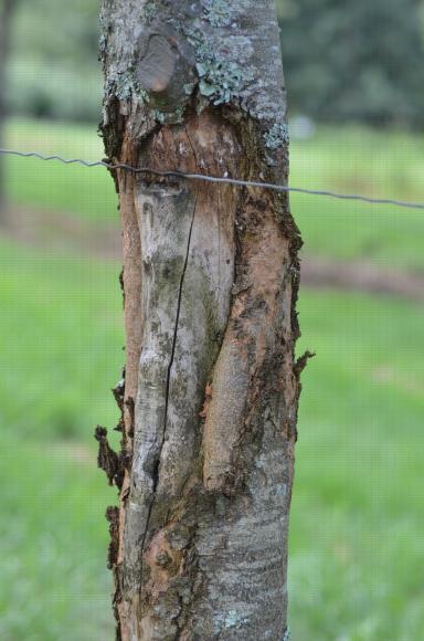 Bourrelet de cicatrisation faisant suite à une attaque de chancre du châtaignier (Cryphonectria parasitica)