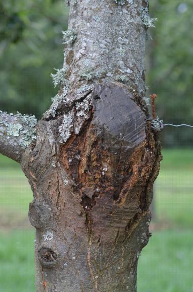 Chancre du châtaignier (Cryphonectria parasitica) infectant une plaie de taille