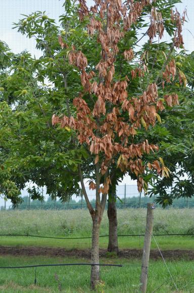 Mort d'une charpentière d'un jeune arbre de châtaignier consécutive à une attaque de Cryphonectria parasitica, le chancre du châtaignier