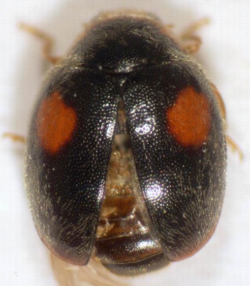 Coccinelle Scymnus sp.