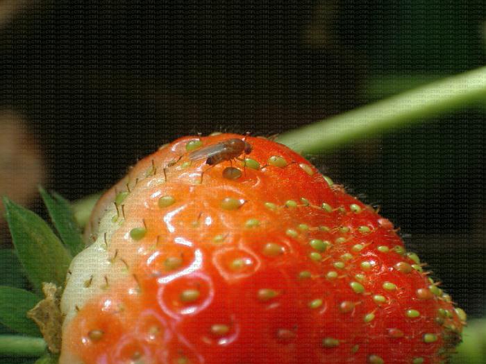 Adulte Drosophila suzukii sur fraise
