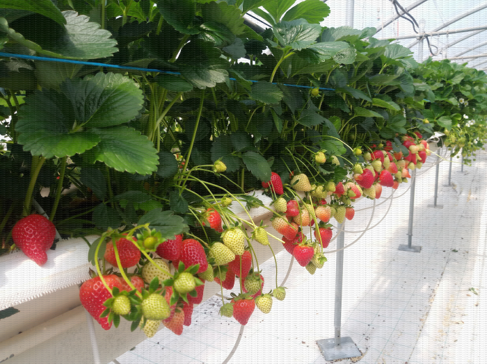 Culture de fraise hors sol