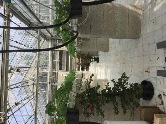 Utilisation de plantes pièges pour la gestion de Drosophila suzukii