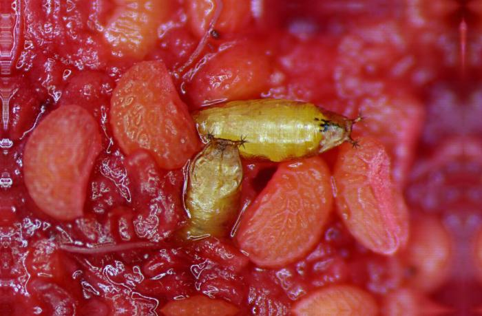 Pupes de Drosophila suzukii