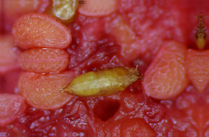 Pupe de Drosophila suzukii