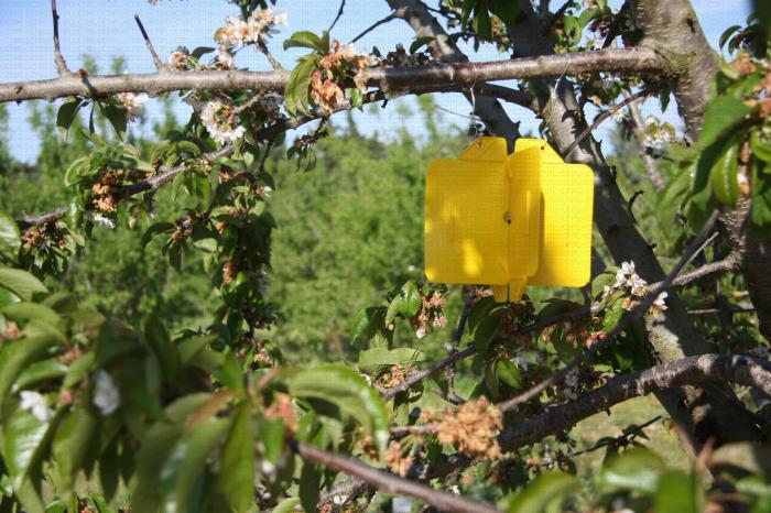 Piège pour capture mouche de la cerise