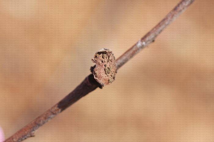 Moniliose sur rameau, coussinets conidifères sur arrachement de fruits, conservation du champignon