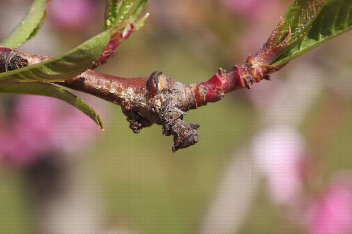 Moniliose, hivernation du champignon