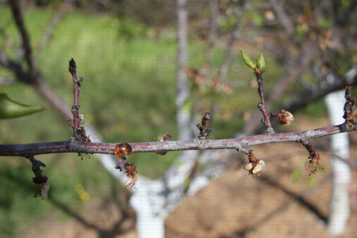 Monilia sur fleurs et rameaux, dégâts sur abricotier