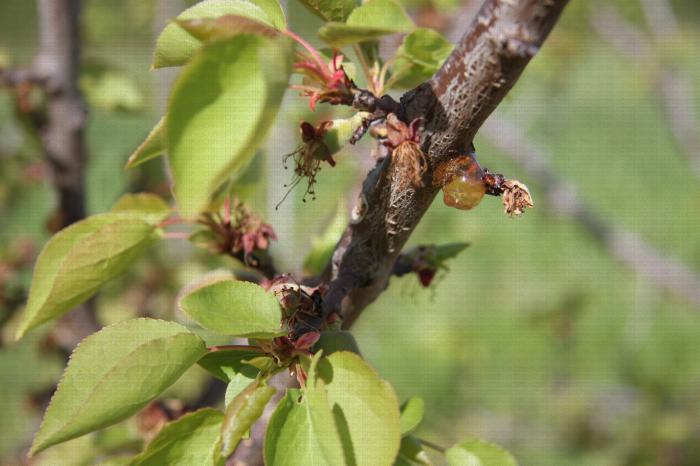 Monilia sur fleurs et rameaux, symptômes sur abricotier