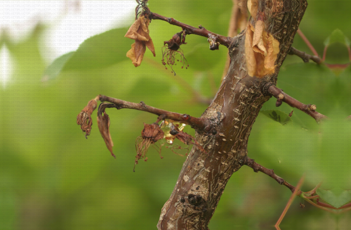 Moniliose sur fleurs et rameaux, dégât sur abricotier
