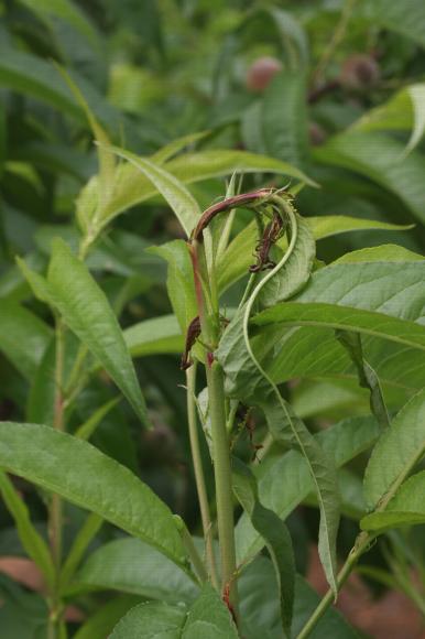 Anarsia lineatella, petite mineuse du pêcher, symptôme sur pêcher