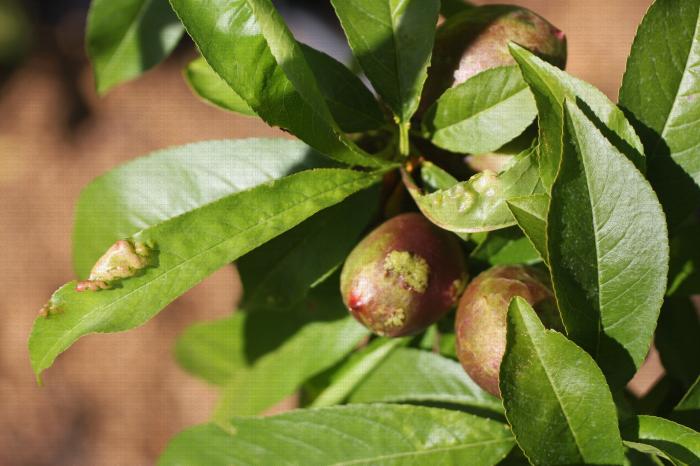 Cloque du pêcher, symptôme sur feuille et sur fruit (nectarine)