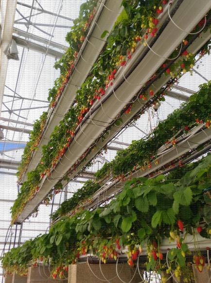 Culture hors-sol de fraisier sur trois niveaux