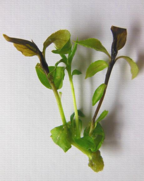 Nécrose apicale sur apex in vitro de poirier, problème lié à la culture in vitro