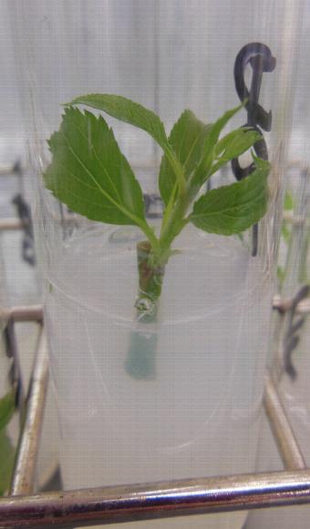Démarrage d'une mise en culture in vitro à partir d'un bourgeon axillaire d'un porte-greffe Malus