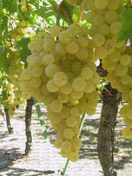 Danlas, variété de raisin de table