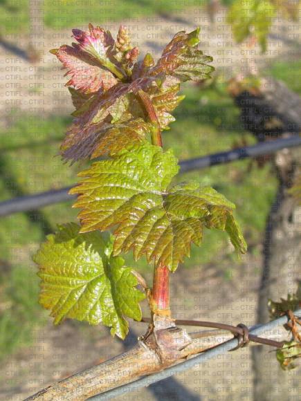 Vigne, stade phénologique F7
