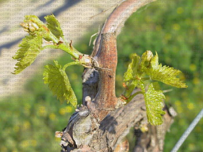 Vigne, stade phénologique E2