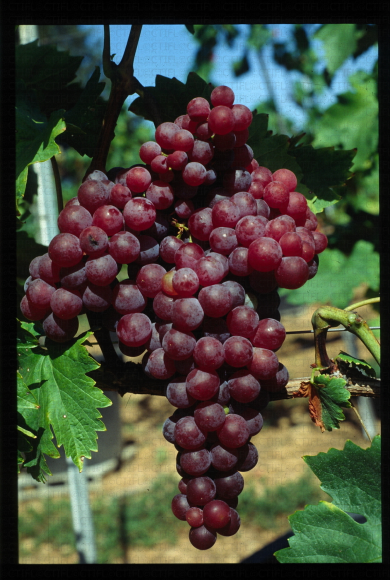 variété de raisin rose apyrene, Perlon