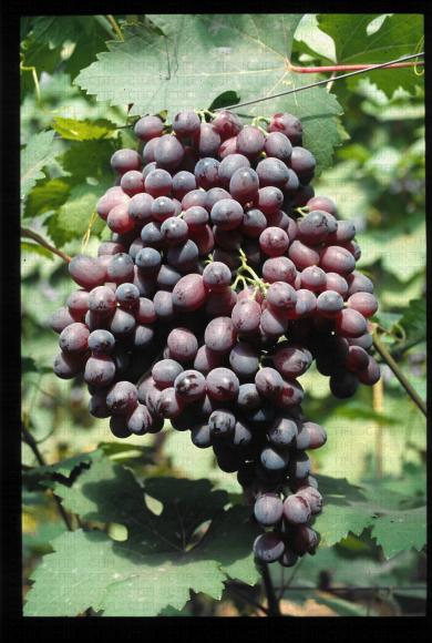 Variété de raisin rose apyrene, Ruby