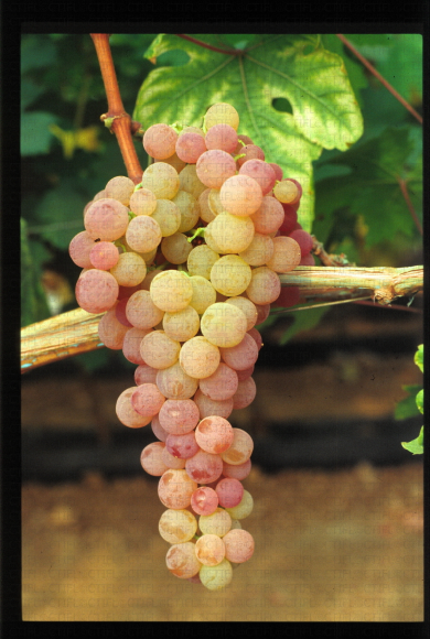 Variété de raisin rose, Serna