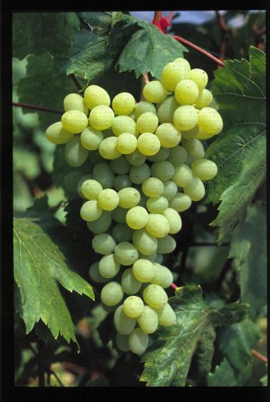 Variété de raisin blanc apyrene, Sulima