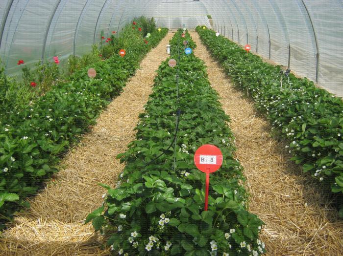 Culture en sol de fraisiers sur paillage plastique sur butte avec abri tunnel