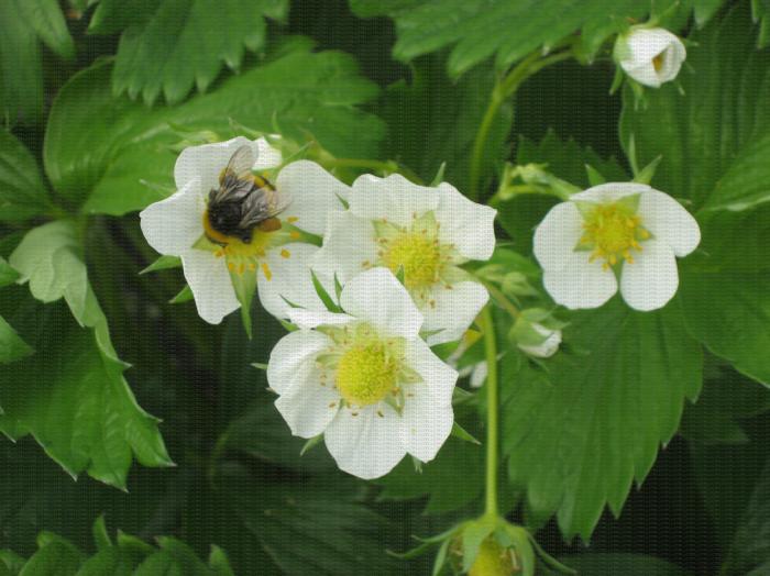 Bourdon visitant une fleur de fraisier pour la pollinisation