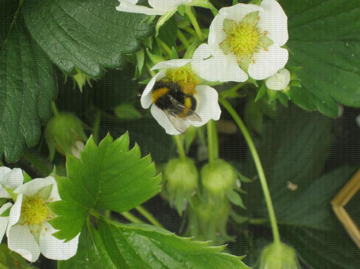 Bourdon Sur Une Fleur De Fraisier Aidant A La Pollinisation