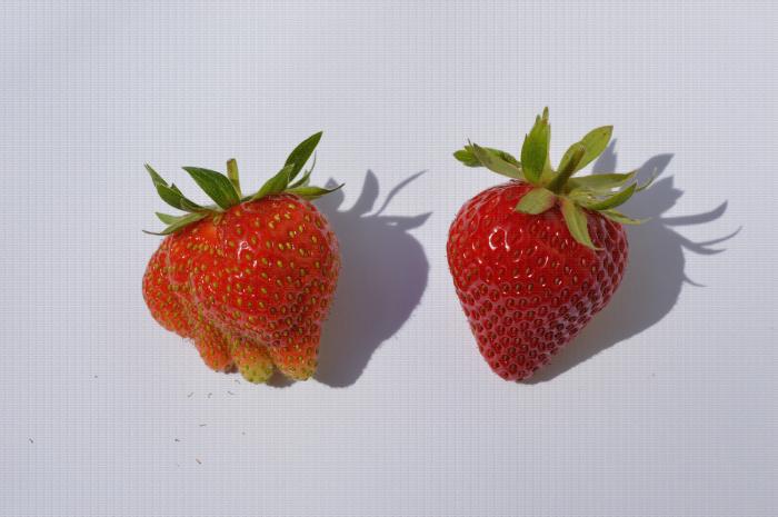 Comparaison de deux fraises : une bien formée et une déformée dû à une mauvaise pollinisation