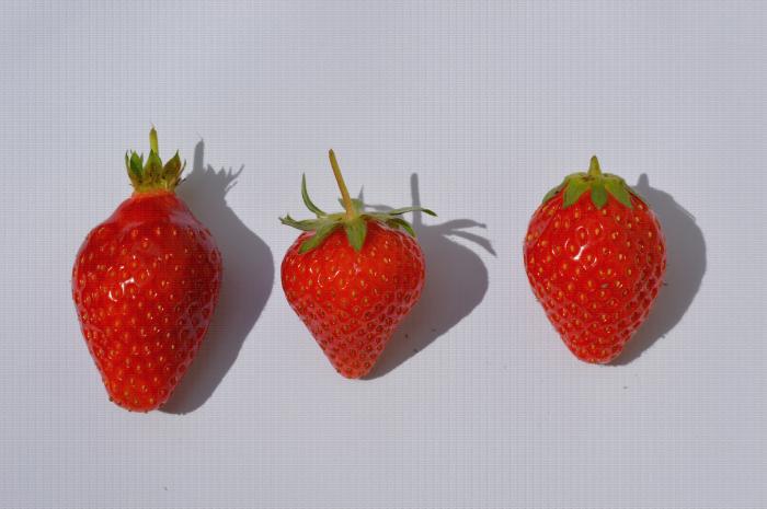 Comparaison de trois variétés de fraise Gariguette, Matis et Ciflorette avec deux formes de fraise biconique et conique et trois types de sépales relevé, détaché et embrassant