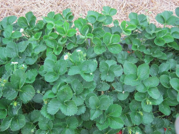 Plants de fraisier en culture en sol avec présence de quelques fleurs et de quelques fruits en cours de maturation