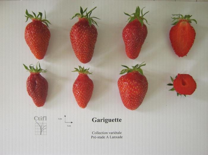 Présentation de fraises, variété Gariguette ainsi qu'une coupe en largeur et en longueur du fruit