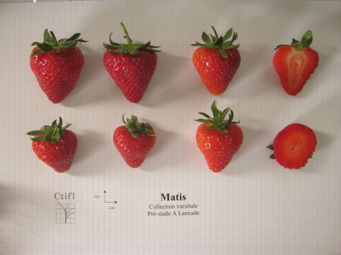 Présentation de fraises, variété Matis ainsi qu'une coupe en largeur et en longueur du fruit