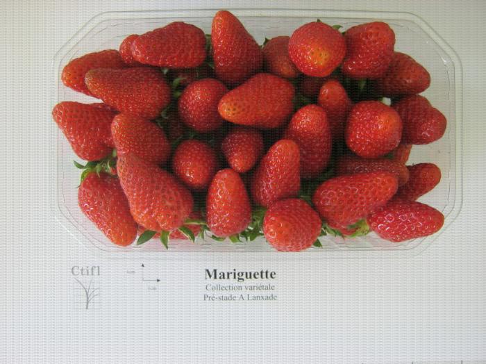 Présentation en barquette de la variété de fraise Mariguette®