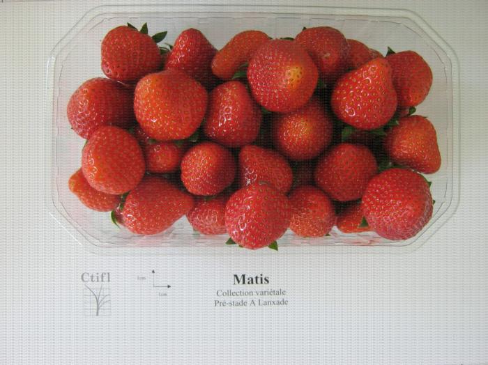 Présentation en barquette de la variété de fraise Matis