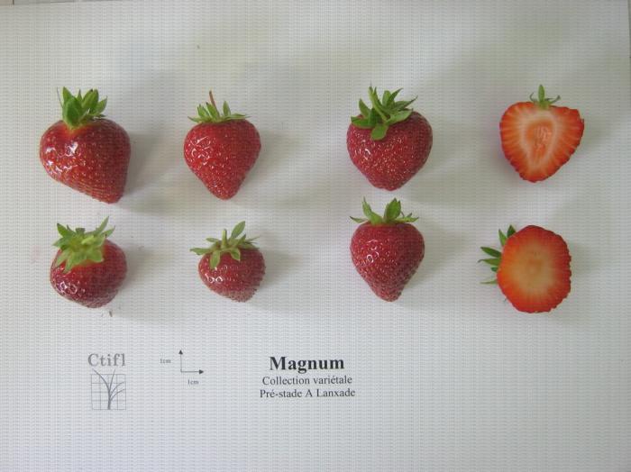 Présentation de fraises, variété Magnum ainsi qu'une coupe en largeur et en longueur du fruit