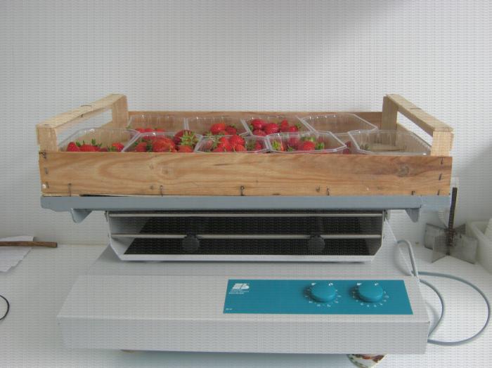 Test mené sur des variétés de fraises à l'aide d'une table vibrante permettant de simuler un transport dans le curcuit de distribution