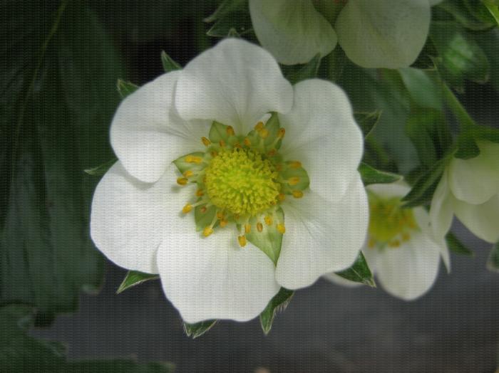 Fleur ouverte de fraisier après pollinisation