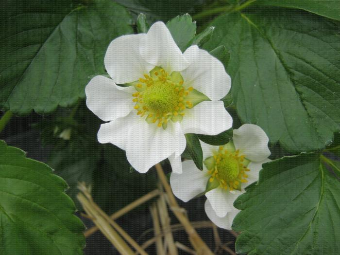 Une fleur de fraisier