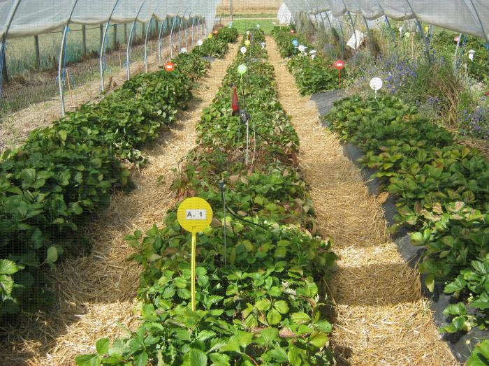Culture en sol de fraisiers sur butte avec paillage plastique sous abri en fin de récolte