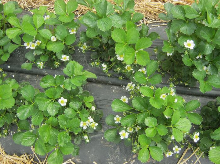 Plants de fraisier en culture en sol avec présence de quelques fleurs à différents stades phénologiques