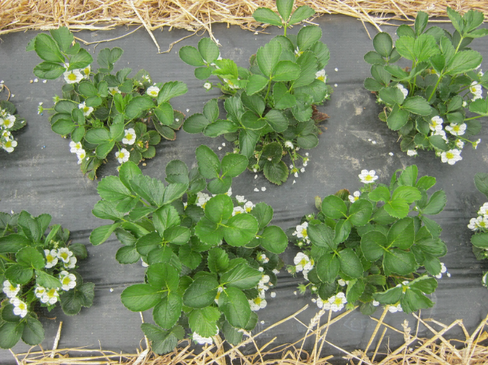 Plants de fraisier en culture en sol avec présence de quelques fleurs