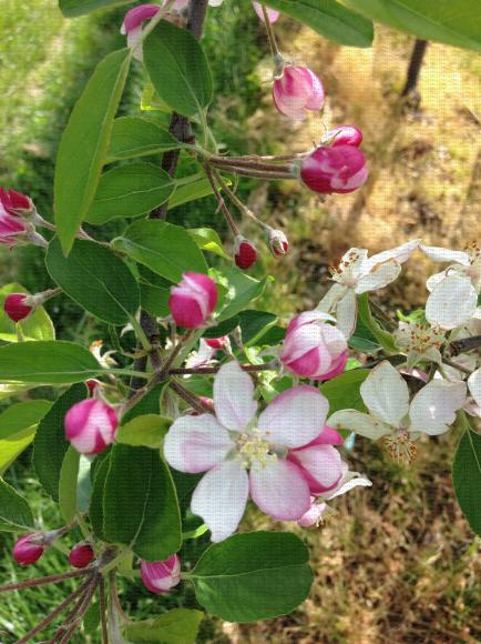 Fleurs de pommier au stade début de floraison